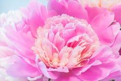 Nahaufnahme der rosa Pfingstrose Lizenzfreie Stockbilder