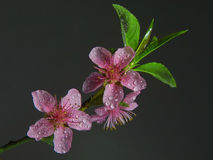 Nahaufnahme der rosafarbenen Blume stockbild