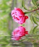 Nahaufnahme der rosafarbenen Blume Lizenzfreie Stockfotos