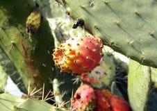 Nahaufnahme der roten Frucht des Kaktusfeigekaktusbaums, Opuntie lizenzfreie stockbilder