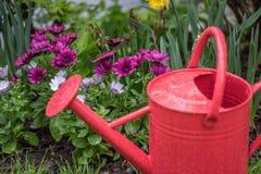 Nahaufnahme der roten Gießkanne im Garten von Gänseblümchen nach Niederschlag Lizenzfreies Stockfoto