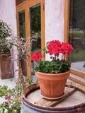 Nahaufnahme der roten Pelargonie in einem keramischen Topf auf einem hölzernen Fass lizenzfreies stockfoto