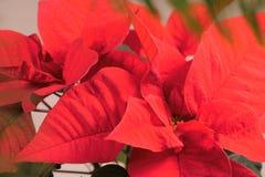 Nahaufnahme der roten Poinsettias blüht Euphorbiengummi pulcherrima Weihnachtsblume stockbilder