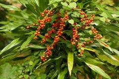 Nahaufnahme der roten tropischen Beeren im Dschungel Lizenzfreies Stockbild