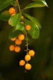 Nahaufnahme der roten tropischen Beeren - Zweigmakro Stockbilder