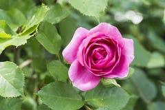 Nahaufnahme der roten Weißrosenblume in einem Garten Stockfotos