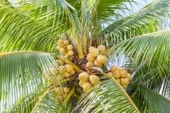 Nahaufnahme der süßen Kokosnuss stockbild