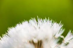 Nahaufnahme der Samen der Löwenzahnblume mit den Tropfen von d Stockbild