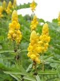 Nahaufnahme der schönen gelben Kerzepinselblume Stockfoto