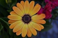 Nahaufnahme der schönen gelben und orange Kapgänseblümchenblüte stockfotografie
