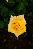 Nahaufnahme der schönen Gelbrose Stockfoto