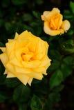 Nahaufnahme der schönen Gelbrose Lizenzfreies Stockbild