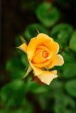 Nahaufnahme der schönen Gelbrose Stockbilder