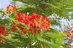 Nahaufnahme der schönen Gulmohar Blumen lizenzfreies stockfoto