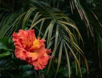 Nahaufnahme der schönen orange und gelben Hibiscusblumenblüte in voller Blüte in Hawaii-Paradies, Blumengartenhintergrund, Reise stockfotografie