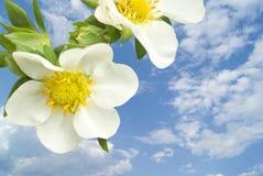 Nahaufnahme der schönen Pflaumeblüte Lizenzfreie Stockfotos