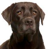 Nahaufnahme der Schokolade Labrador, 4 Jahre alt Stockfotos
