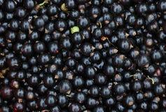 Nahaufnahme der Schwarzen Johannisbeeren Lizenzfreie Stockfotos