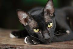 Nahaufnahme der schwarzen Katze Lizenzfreie Stockbilder
