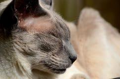 Nahaufnahme der siamesischen Katze im Sonnenlicht schlafend Lizenzfreies Stockbild