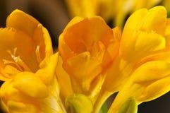 Nahaufnahme der sinnlicher Freesiablumen und -knospen. Stockfoto