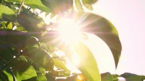 Nahaufnahme in der Sonne im Wind, der große grüne Blätter der Walnuss beeinflußt Reihen von gesunden Walnussbäumen in einem ländl stock footage