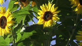 Nahaufnahme der Sonneblume gegen einen blauen Himmel Schöne Sonnenblumenblüte gegen blauen Himmel stock footage