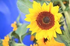Nahaufnahme der Sonnenblume Stockbilder