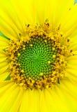 Nahaufnahme der Sonnenblume Stockfotografie