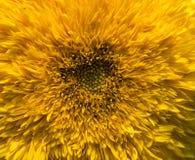 Nahaufnahme der Sonnenblume Lizenzfreie Stockfotografie
