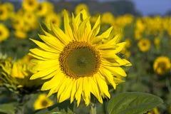 Nahaufnahme der Sonnenblume auf dem Sonnenblumengebiet, Deutschland Lizenzfreie Stockfotos