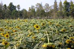 Nahaufnahme der Sonnenblume - Bild lizenzfreie stockfotografie