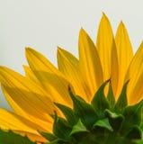 Nahaufnahme der Sonnenblume unter Sonnenlicht lizenzfreie stockfotos