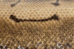 Nahaufnahme der Spinner-Pythonschlange, königliche Pythonschlangehaut Stockbilder