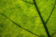 Nahaufnahme der Struktur des grünen Blattes in der Sonne Stockbilder