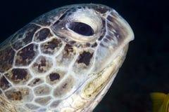 Nahaufnahme der Suppenschildkröte (Chelonia mydas). Stockbilder