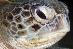 Nahaufnahme der Suppenschildkröte (Chelonia mydas). Lizenzfreie Stockfotografie