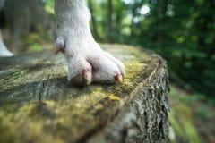Nahaufnahme der Tatze des Hundes auf der Bank des Holzes lizenzfreie stockfotografie