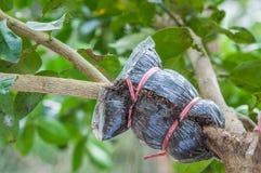 Nahaufnahme der Transplantation auf Kalkbaumast im Garten Lizenzfreies Stockbild