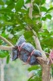 Nahaufnahme der Transplantation auf Kalkbaumast im Garten Stockbild