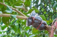 Nahaufnahme der Transplantation auf Kalkbaumast im Garten Stockfotografie