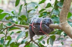 Nahaufnahme der Transplantation auf Kalkbaumast im Garten Stockbilder