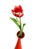 Nahaufnahme der Tulpe im Vase getrennt auf Weiß Stockfotografie