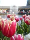 Nahaufnahme der Tulpe und des Brunnens Lizenzfreies Stockbild