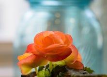 Nahaufnahme der vibrierenden orange Minibegonienanlage Lizenzfreies Stockbild