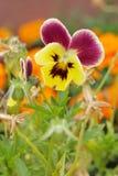 Nahaufnahme der Violatrikolore auf natürlichem Hintergrund in einem Garten stockbild