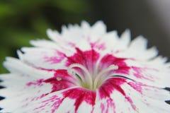 Nahaufnahme der weiß-rosa Gartennelke stockbilder
