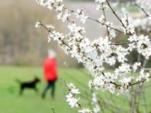 Nahaufnahme der Weißdornblüte mit einem unscharfen Hintergrund, Chorleywood-Haus-Zustand stockfotografie