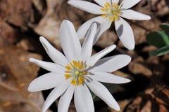 Nahaufnahme der weißen Blume von Bloodroot Sanguinaria canadensis stockfoto