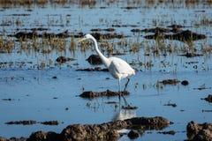 Nahaufnahme der weißen Reiherjagd im Albufera-Naturpark, Valencia, Spanien Natürliches Porträt weißen Reiher Ardea alba lizenzfreie stockfotos